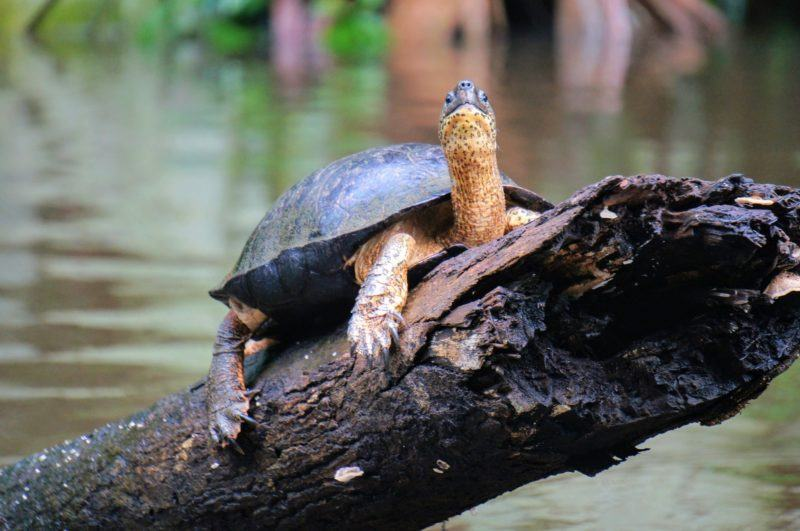 Turtles in Tortuguero