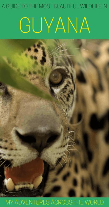 Discover all the nicest wildlife in Guyana - via @clautavani